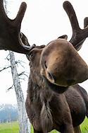 A moose at the Alaska Wildlife Conservation Center, Portage, Alaska<br /> <br /> Photographer: Christina Sjögren<br /> <br /> Copyright 2019, All Rights Reserved