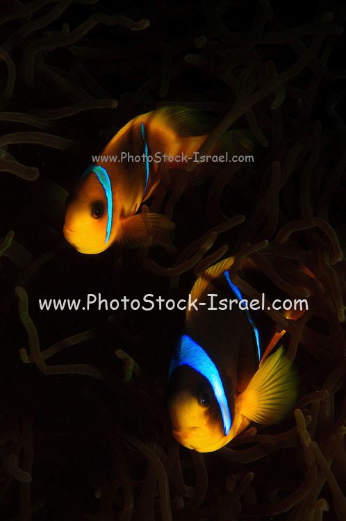 Israel, Eilat, Red Sea, - Underwater photograph of a Red Sea or two-banded clownfish (Amphiprion bicinctus) in a Sea Anemone (Actiniaria)