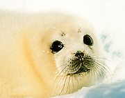 An endangered baby harp seal on the Magdalene Islands in the Gulf of St. Laurence, Canada.