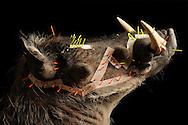 Prepared warthog (Phacochoerus africanus), wrinkles and depressions with cardboard and Dissecting fixed in order to preserve the facial expression that it is not smooth pulls during drying, Taxidermist Claudia Gloeckner, Hopfgarten in Erzgebirge, Taxidermist Claudia Gloeckner, Hopfgarten in Erzgebirge..Praepariertes Warzenschein ((Phacochoerus africanus), die Falten und Vertiefungen sind mit Pappstreifen und Praepariernadeln fixiert, damit die Mimik erhalten bleibt und sich nicht glatt zieht beim Trocknen, Tierpraeparation Claudia Gloeckner, Hopfgarten im Erzgebirge
