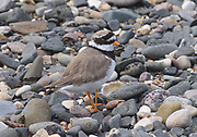 A ringed plover (Charadrius hiaticula) near its nest on the beach at Ballycastle. Ballycastle, Antrim, Northern Ireland.