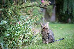 Tabby cat yawning, sat on a garden lawn, England, UK.<br /> Photo: Ed Maynard<br /> 07976 239803<br /> www.edmaynard.com