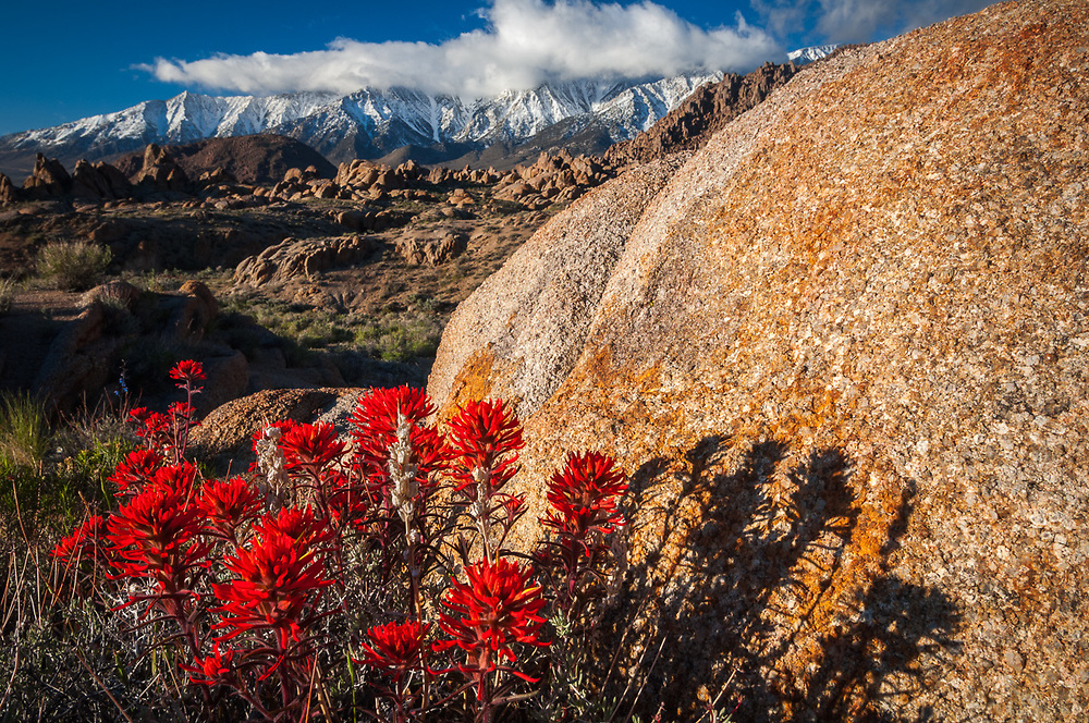 Indian paintbrush wildflowers (Castilleja species) and granite boulders, morning light, April, Alabama Hills Recreation Area, Whitney Portal, eastern Sierra Mountains, Inyo County, California, USA