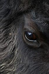 Eye of Bison, Vermejo Park Ranch, New Mexico, USA.