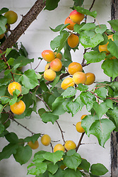 Apricots trained against a wall. Prunus armenica 'Harogem'