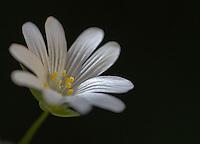 Greater Stitchwort, Stellaria holostea, Cheshire, June