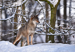 28.12.2014, Wildtierpark, Bad Mergentheim, GER, Wölfe im Wildtierpark Bad Mergentheim, im Bild Timberwolf, Kanadischer Wolf (Canis lupus occidentalis) im Schnee, aufmerksam, captive // Wolves in the Wildtierpark in Bad Mergentheim, Germany on 2014/12/28. EXPA Pictures © 2015, PhotoCredit: EXPA/ Eibner-Pressefoto/ Weber<br /> <br /> *****ATTENTION - OUT of GER*****