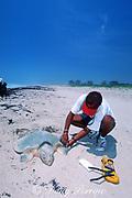 biologist attaches metal tag to flipper of nesting Kemp's ridley sea turtle, Lepidochelys kempii, Rancho Nuevo, Mexico ( Gulf of Mexico )