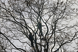 © Licensed to London News Pictures. 28/01/2021. London, UK. HS2 Rebellion protestors remain in a tree above Euston Square Gardens. Protestors are resisting a police operation to remove them for a second day. It is reported the protesters have built a 100ft tunnel under the gardens. Photo credit: Peter Macdiarmid/LNP