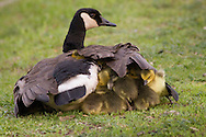 Middletown, New York - Goslings seek shelter under the wings of a Canada goose at Fancher-Davidge Park  on May 14, 2014.