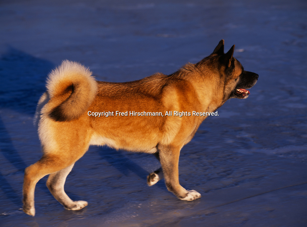 """Akita, AKC, 4-year-old """"Cisco"""" photographed on Lake Lucille and owned by Cynthia and Joseph Vidal of Anchroage, Alaska.  (PR)"""
