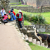 Americas, South America, Peru, Machu PIcchu. A llama watches tourists with interest at Machu Picchu, a UNESCO World Heritage Site.