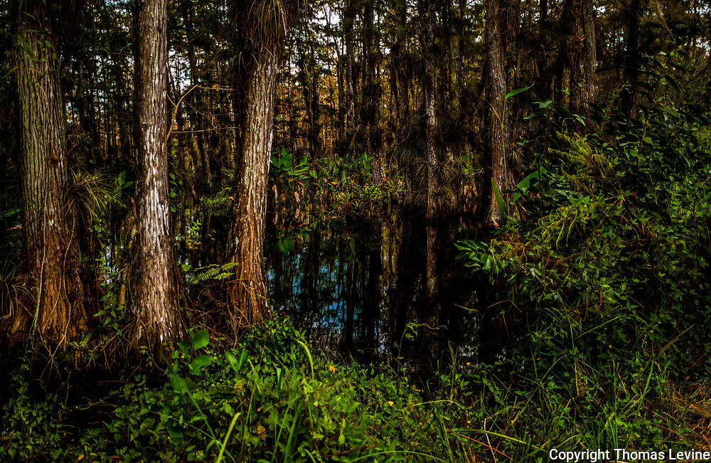 swamp with trees, water and green foliage and small clearing. Big Cypress Preserve