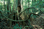 Tropical rainforest Lianas and Buttres roots - Tampopata, Amazonia, dry season