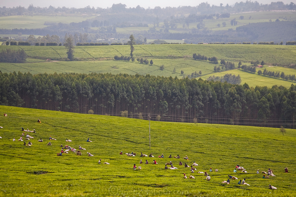 A tea plantation, near Kericho, Kenya, owned by Unilever. Workers live in company housing and make $3 to $9 US per day, depending on how much tea they pick. They are paid by the kilo. The young tea leaves  are picked every two weeks.
