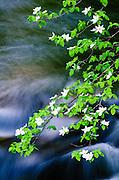 Mountain Dogwood (Cornus nuttallii) above the Merced River,  Yosemite National Park, California USA