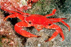 red swimming crab with deformed eye, Charybdis paucidentata, Kona, Big Island, Hawaii, Pacific Ocean