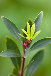 Drimys aromatica syn. Tasmannia aromatica, syn. D. lanceolata - Mountain pepper
