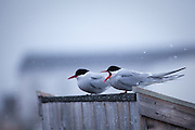 Two Arctic Terns, sterna paradisea, perched near the dog yard Ny Alesund, Svalbard. These terns migrate more than any other species bird - up to 35,000km per year for some birds, as the travel to Antarctica and back, and can enjoy two polar summers.