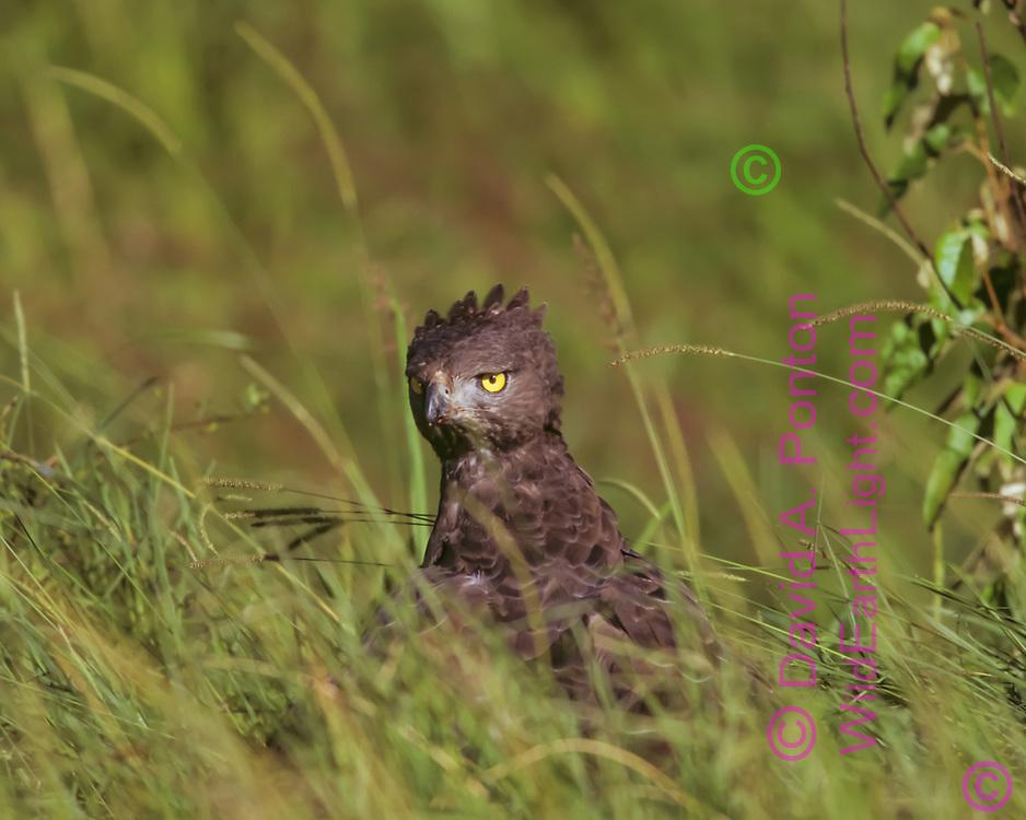 Martial eagle on prey in deep grass, alert to surroundings while eating, Maasai Mara National Reserve, Kenya, © David A. Ponton