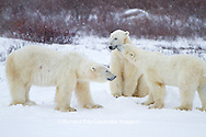 01874-12601 Three Polar bears (Ursus maritimus) sparring in winter, Churchill Wildlife Management Area, Churchill, MB Canada
