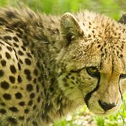 Portrait of a cheetah having a suspicious look.