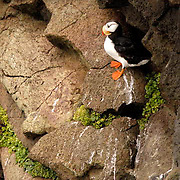 Horned Puffin (Fratercula corniculata) In breeding plumage resting on rocky cliff. St. Paul, Pribilof Islands. Alaska.