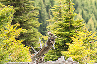A wary gray jay keeps an eye on me as I pass along the top of Hurricane Ridge on Washington's Olympic Peninsula.