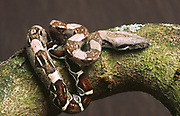 A young boa constrictor (Boa constrictor) coiled on a tree branch at Marwell Zoo Park in Hampshire