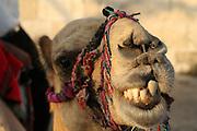 Israel, Jerusalem, Close up portrait of a camel used for tourist rides
