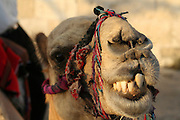 Israel, Jerusalem, Close up portrait of a camel used for tourist rides