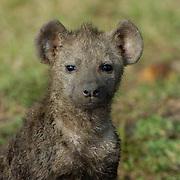 Spotted Hyaena (Crocuta crocuta) Young pup dirty in den after the rains. Masai Mara National Park. Kenya. Africa.