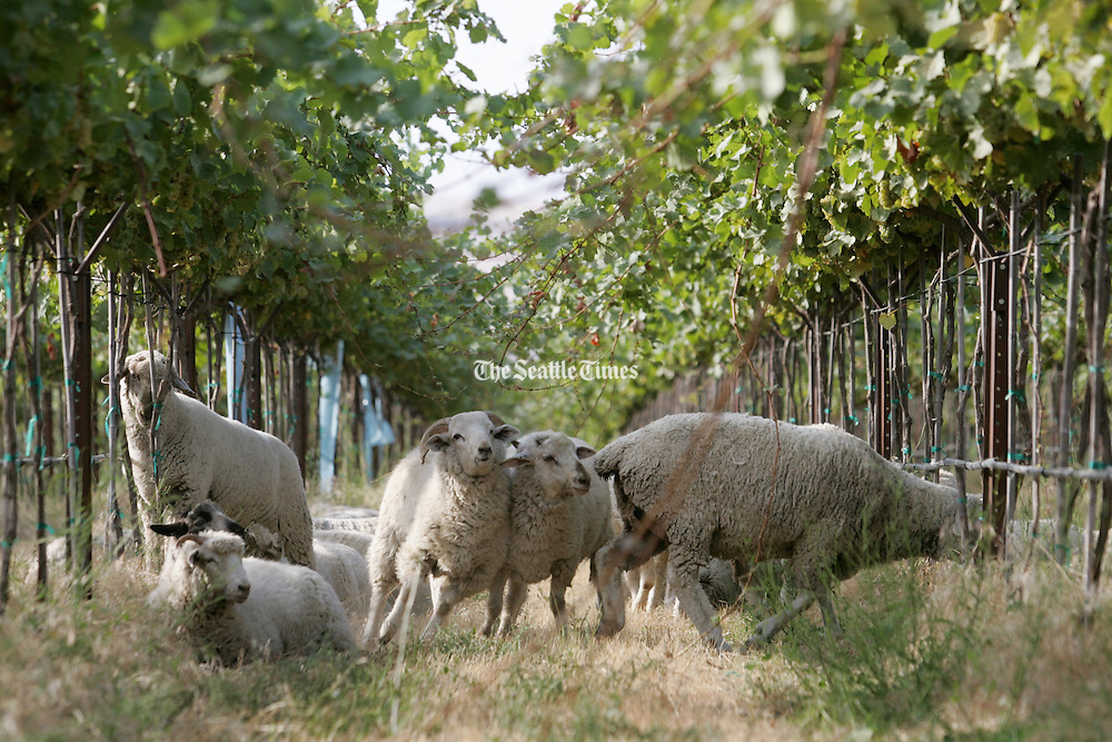 Sheep perform weed control in a 145-acre block of Riesling grapes that are certified Biodynamic, at The Benches Vineyard.<br /> Ken Lambert / The Seattle Times