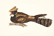 The great eared nightjar (Lyncornis macrotis syn Eurostopodus macrotis) is a species of nightjar in the family Caprimulgidae. It is the largest species in the family in terms of length, which can range from 31 to 41 cm (12 to 16 in). Males weigh an average of 131 g (4.6 oz) and females weigh an average of 151 g (5.3 oz) so it the second heaviest species in the family after the nacunda nighthawk. It is found in Southeast Asia with populations in the Western Ghats and Sri Lanka[3] Bangladesh,[1] India, Indonesia, Laos, Malaysia, Myanmar, the Philippines, Thailand, and Vietnam. Its natural habitat is subtropical or moist lowland tropical forests. 18th century watercolor painting by Elizabeth Gwillim. Lady Elizabeth Symonds Gwillim (21 April 1763 – 21 December 1807) was an artist married to Sir Henry Gwillim, Puisne Judge at the Madras high court until 1808. Lady Gwillim painted a series of about 200 watercolours of Indian birds. Produced about 20 years before John James Audubon, her work has been acclaimed for its accuracy and natural postures as they were drawn from observations of the birds in life. She also painted fishes and flowers. McGill University Library and Archives