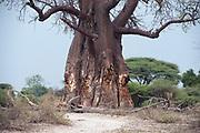 Baobab tree damaged by elephants stripping bark