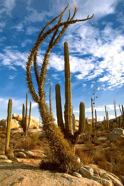 MEXICO, BAJA CALIFORNIA NORTH Central Desert, 'Boojum' Cirio trees