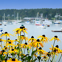 Blackeyed susans bloom along the roadside in Christmas Cove Harbor, Maine.