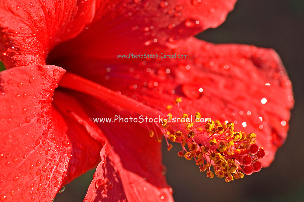 Close up of a red Hibiscus with dew drops