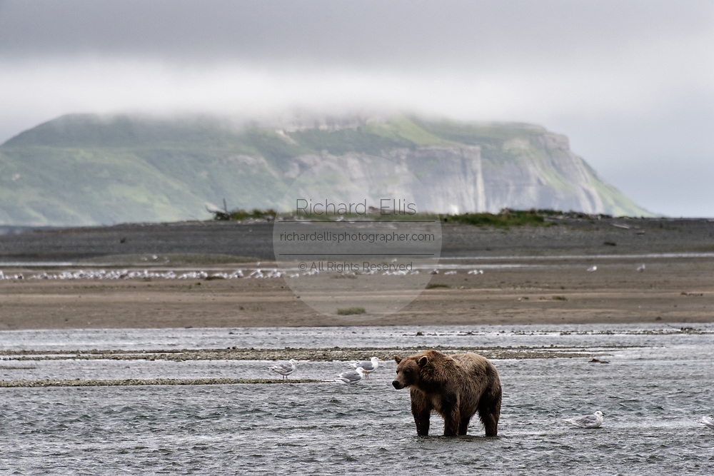 A large adult brown bear boar looks for fish at the McNeil River State Game Sanctuary on the Kenai Peninsula, Alaska. The remote site is accessed only with a special permit and is the world's largest seasonal population of wild brown bears in their natural environment.