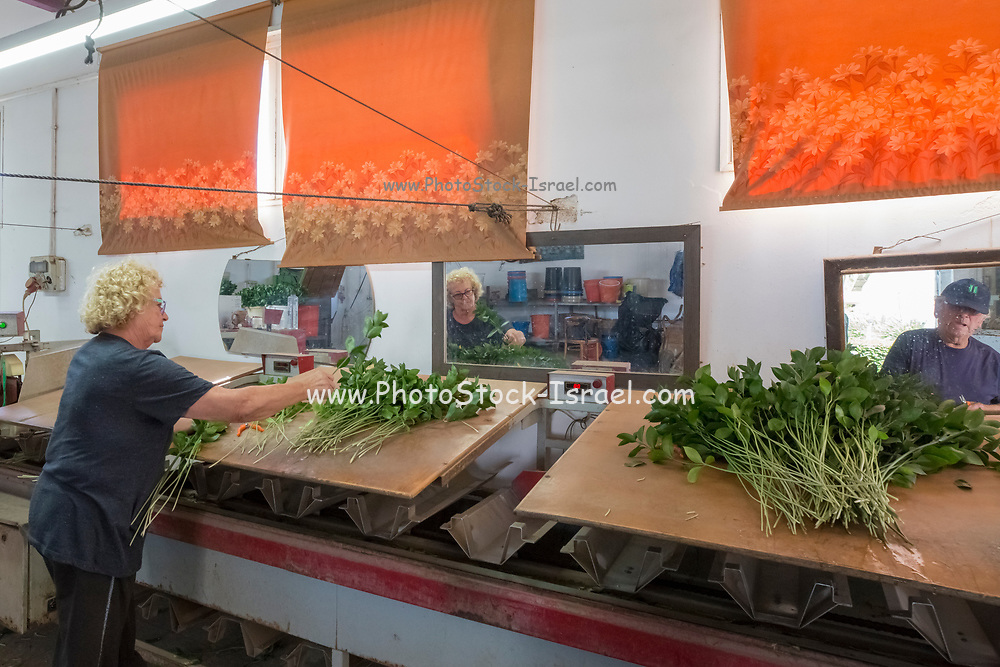 A mature couple packing flowers from their hothouse Photographed in Haniel [a moshav in central Israel. Located in the Sharon plain near Netanya and Kfar Yona], Israel