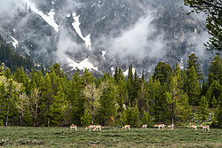Home on the range, the Teton Range. Pronghorn Antelope herd grazing beneath the the Mountains of Jackson Hole Wyoming.