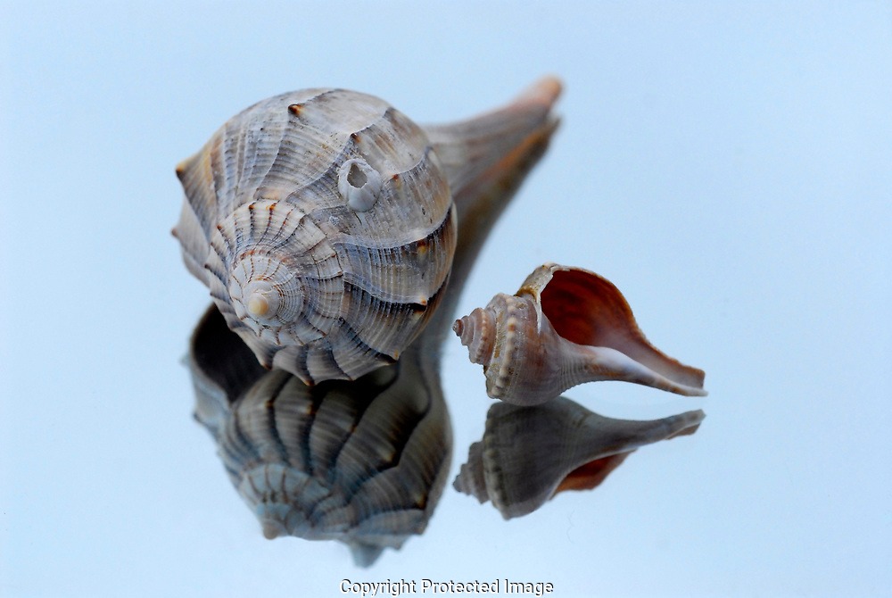 The Channel whelk on the left and the Knobbed whelk on the right, both common to Cape Cod beaches, are dextral or right-handed whelks. It is proposed that the right handed snails may deter crabs whose claws are designed to open in the opposite direction.