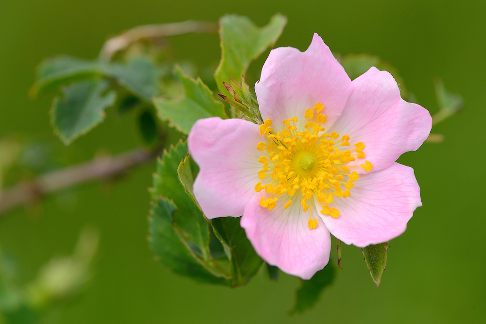 Wild rose, Rosa sp. in the Tarcu mountains nature reserve, Natura 2000 area, Southern Carpathians, Romania. The release was actioned by Rewilding Europe and WWF Romania in May 2014.