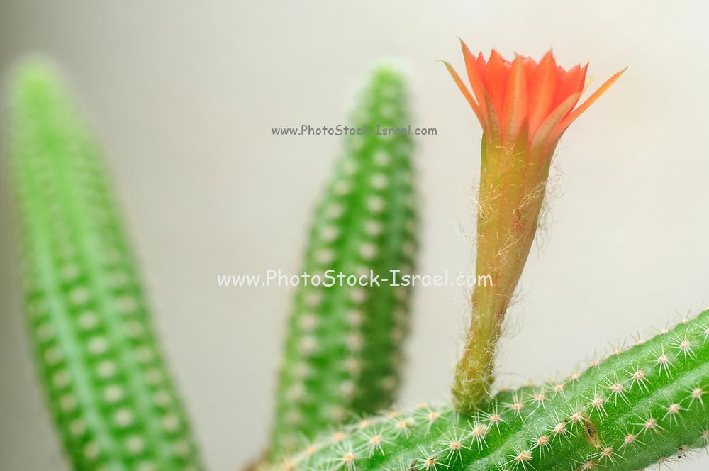 Peanut Cactus (Echinopsis chamaecereus) Cactus with red and orange flower
