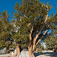 Bristlecone pines, among world's oldest living trees, survive above 11,000 feet elevation in the Patriarch Grove in the Ancient Bristlecone Pine Forest in California's White Mountains.