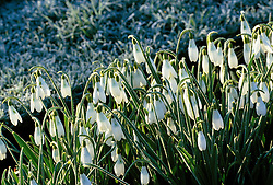 Galanthus 'Atkinsii' - snowdrop - early on a frosty morning at Glen Chantry