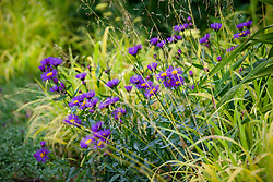 Erigeron 'Dunkelste Aller' ('Darkest of All') with Milium effusum 'Aureum'<br /> (Bowles's golden grass)