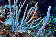 Warty Sea Rod, Eunicea calyculata, Grand Cayman