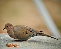 Mourning Dove below a bird feeder. Image taken with a Nikon D850 camera and 500 mm f/4 VR telephoto lens (ISO 2500, 500 mm, f/4, 1/500 sec).