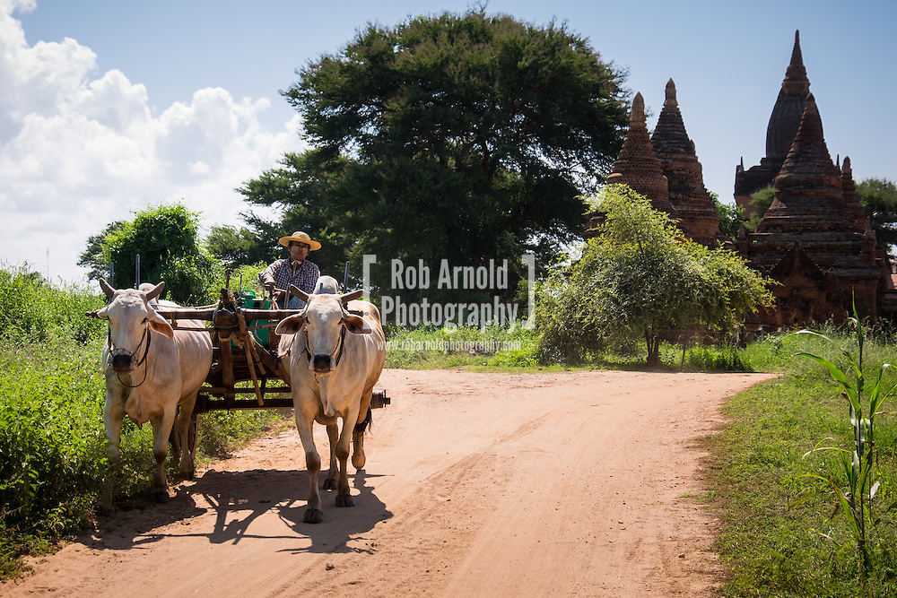 A woman with her Cattle and cart passing ancient temples in Bagan